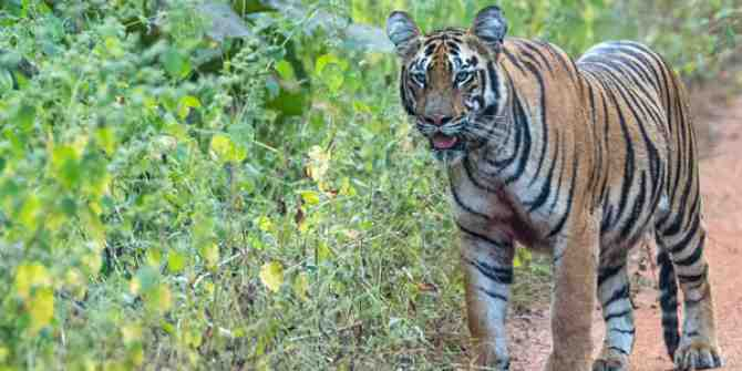 Tigers and other wildlife using busy road underpasses