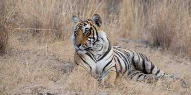 Wild tigers may become extinct in a decade