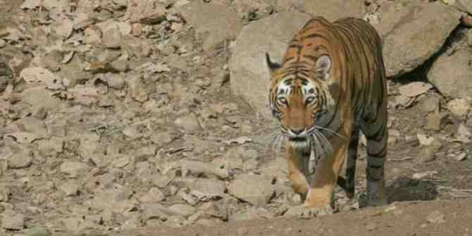 NTCA seeks seeks action over death of tiger in Odisha