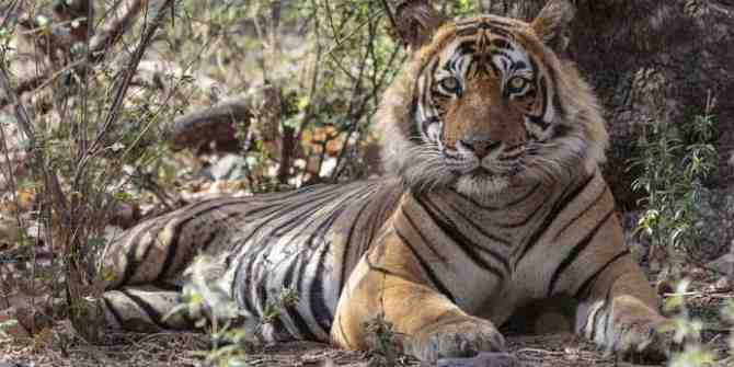 17 tigers lost in Madhya Pradesh in 2017
