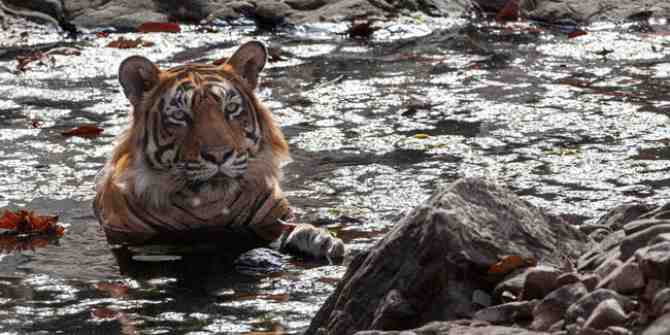 3 tigers spend night with humans during flood