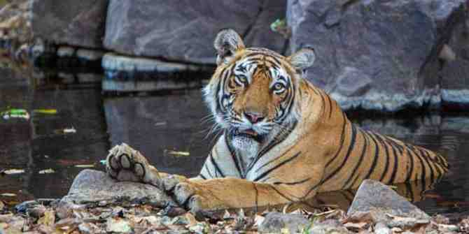 Sunderbans male tiger released after trapping operation.