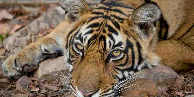 Poaching for the Chinese market drives tigers to the brink