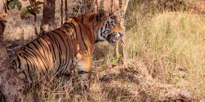 India's 2018 tiger census sets new Guinness record