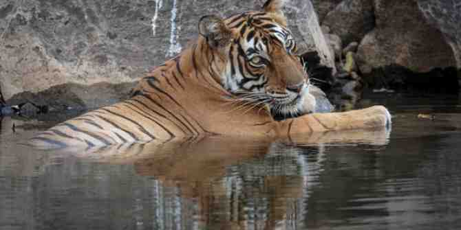 Tigress relaxing at a cool water hole