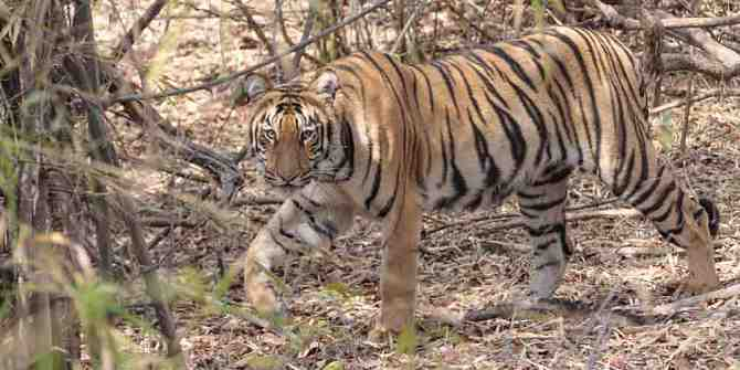 Global Tiger Day and the tragedy of Ustad