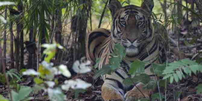 Almost 350 thousand trees to be lost in Jharkhand's tiger reserve