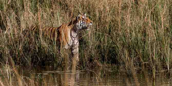 Malaysia vows greater efforts to save the tiger