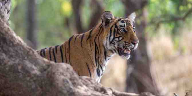 NTCA allows sterilisation of feral dogs to protect tigers