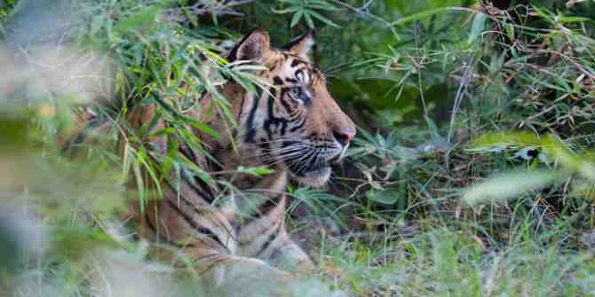 Young male tiger that killed a woman at Ranthambhore is relocated