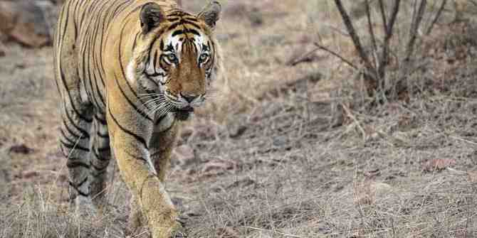Tiger walked over 300km in search of a home range.