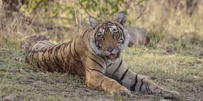 Tigers moving from Ranthambhore due to increase in numbers.