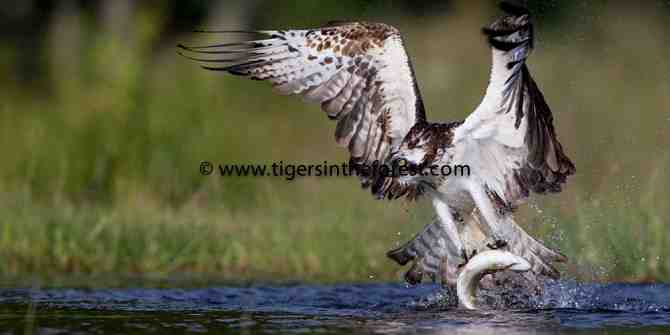 Scotland and the Osprey