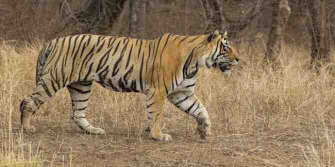 Five tiger deaths in eight months but highest tiger density in India.