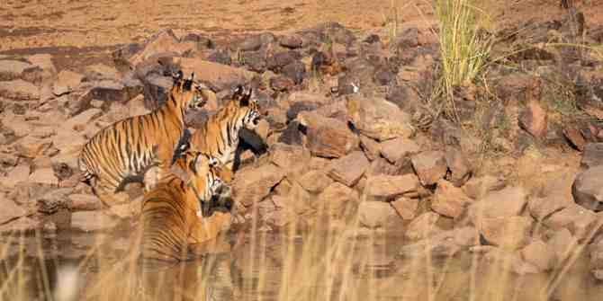 Good news for tigers in Nepal