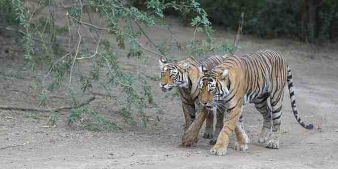 Tiger hit by vehicle on Paoni Deolapar highway