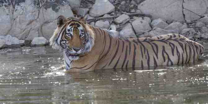 A success story of tiger relocation