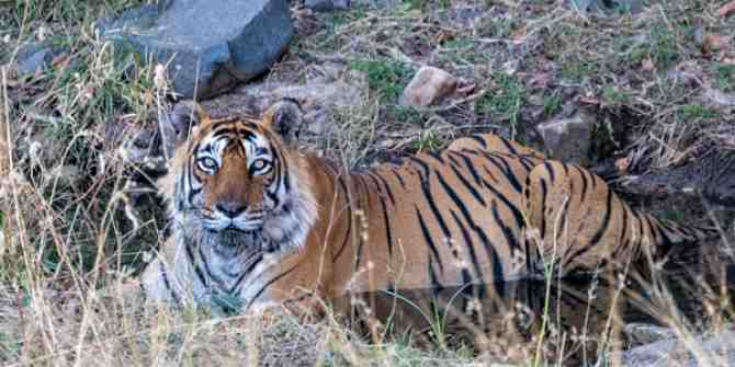 Sunderbans tiger death; husband and wife held