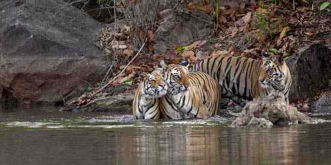 Wildlife activists want strategy to protect sub-adult tigers