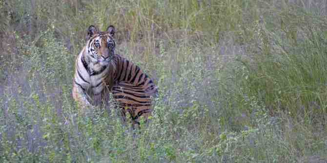 11 tigers dead in there last 9 months in Karnataka