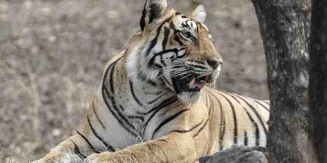 Concern for tigers in the smaller protected areas.