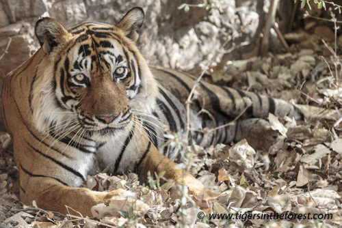 Ustad removed from his forest home without NTCA approval