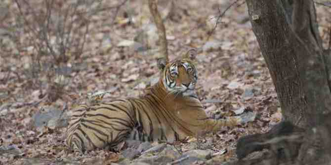 Sharpshooter interferes with tranquillising tigress
