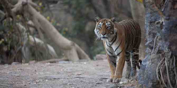 A sad time for the tigers and environment in India