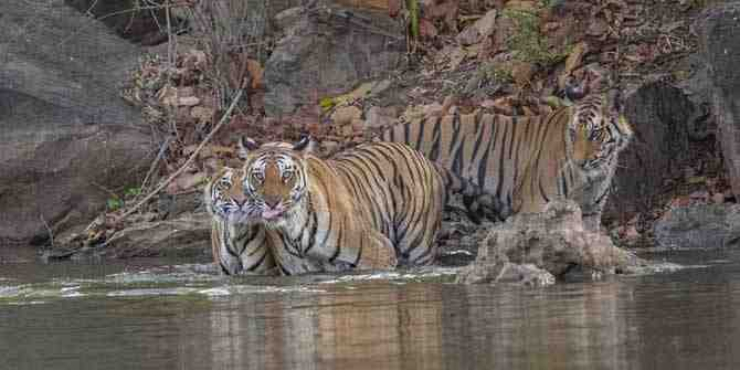 India receives top marks for tiger conservation
