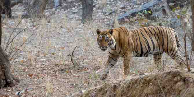 For the past 18 years 124 tigers have been poached every year.