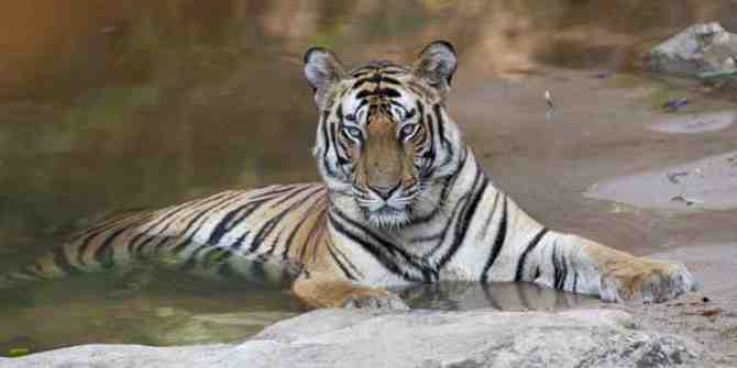 Encouraging news for tigers at the Sunderbans