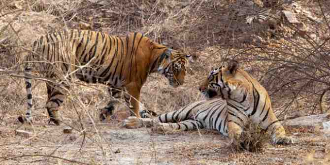 Tigers relocated from Corbett to Rajaji tiger reserve