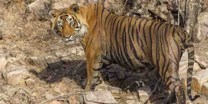 Tiger count started in Kerala as part of the all India tiger census