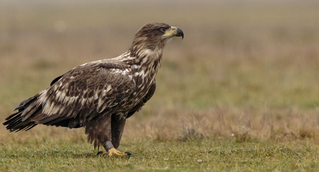 Eagles at the plains of Hortobágy in Hungary