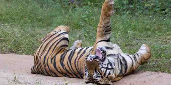 Tragic death of half the tigers saved from the cruel temple in Thailand