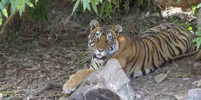 The increasing importance of forest corridors for tigers