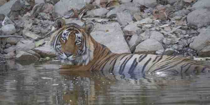Fishermen torment tiger swimming at the Sunderbans