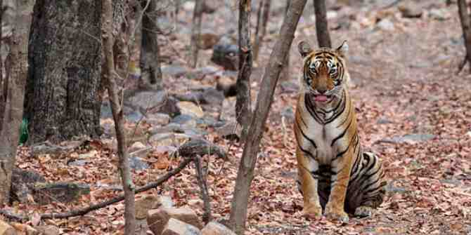 India's big cats in danger