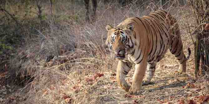 Yet another tiger found dead in Madhya Pradesh