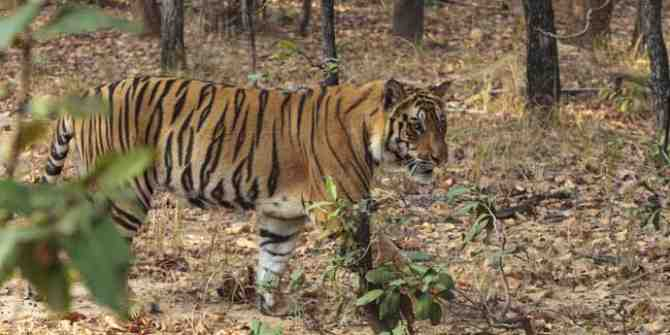 Young pair of tigers to be released into the wild