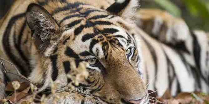 Myanmar looking at India for advise in helping to increase tiger numbers