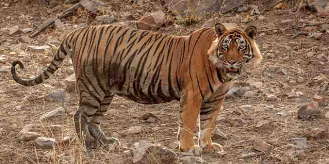 India can never turn its back on tigers