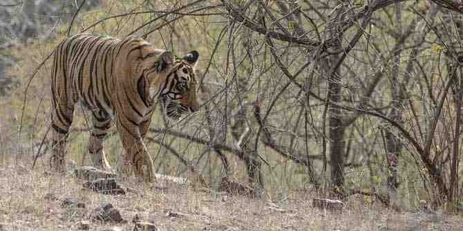 Thriving tigress and her 4 cubs in Kagaznagar