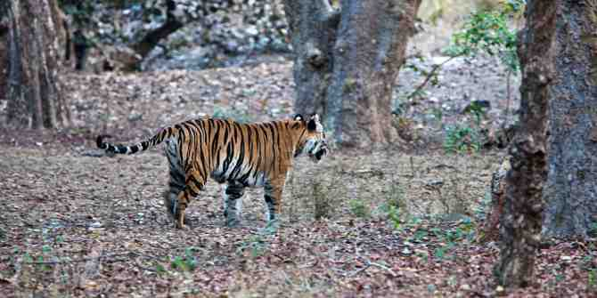 Bandhavgarh February/March 2011 The last walk of the Siddhababa/Chorbera tigress