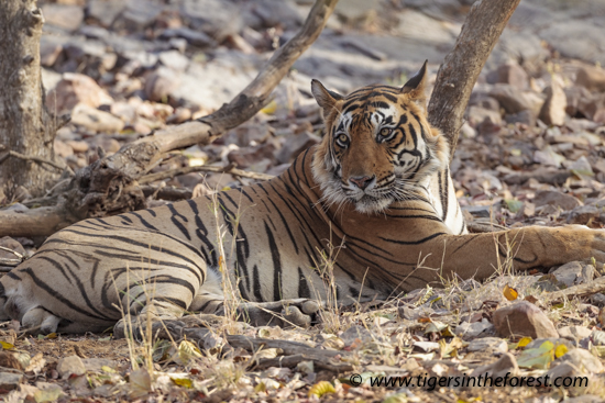 Ranthambhore's well known tiger passes away.
