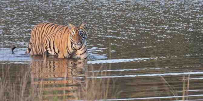4 rare Bengal tigers found dead within 1 month in Nepal