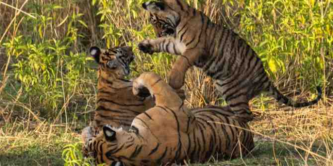 Tiger State Madhya Pradesh lost 290 tigers in 19 years