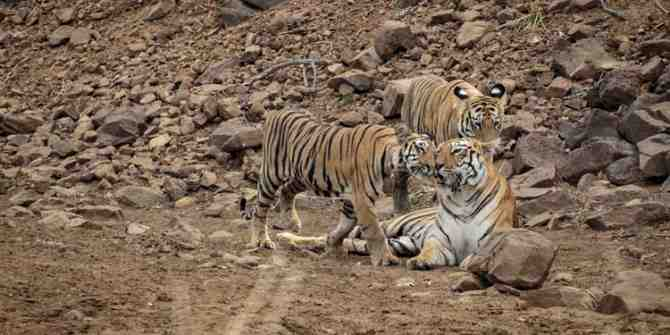55 Tigers recognised on camera traps at Sathymangalam tiger reserve