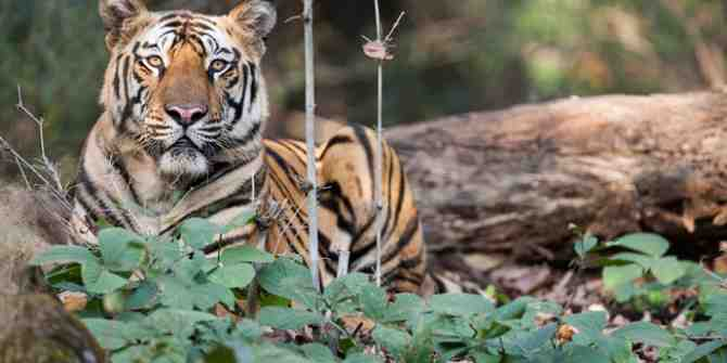Study group to be set up due to solve human/tiger problems at Chandrapur