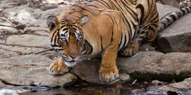 Increase in tiger numbers in West Bengal's Sundarbans